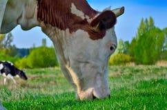Pascolo del bestiame immagine stock