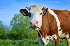 Pascolo del bestiame fotografia stock