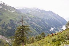 Pascolo del bestiame nel parco nazionale di Hohe Tauern dell'austriaco Fotografie Stock Libere da Diritti