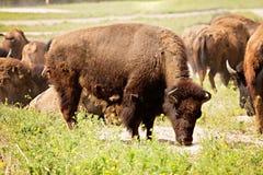 Pascolo del bisonte Immagini Stock