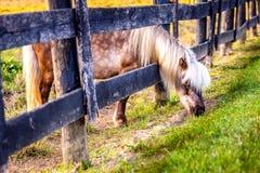 Pascolo del cavallino Fotografia Stock Libera da Diritti