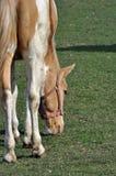 pascolo del cavallo Immagine Stock