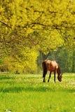 Pascolo del cavallo Immagini Stock