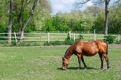 Pascolo del cavallo immagini stock libere da diritti