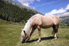 Pascolo del cavallo Fotografie Stock