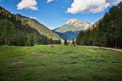 Pascolo del cavallo ai campi verdi sloveni fotografie stock libere da diritti