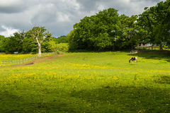 Pascolo del cavallo all'azienda agricola Immagini Stock