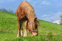 Pascolo del cavallo con la briglia sul pendio di collina Immagini Stock