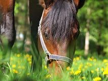 Pascolo del cavallo di baia Fotografia Stock Libera da Diritti