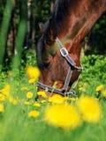 Pascolo del cavallo di baia Immagini Stock Libere da Diritti