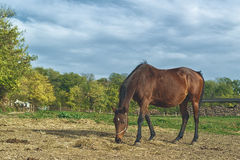 Pascolo del cavallo di Brown della castagna sull'azienda agricola Immagine Stock