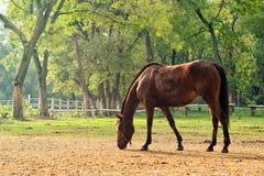 Pascolo del cavallo di Brown della castagna sull'azienda agricola Immagine Stock Libera da Diritti