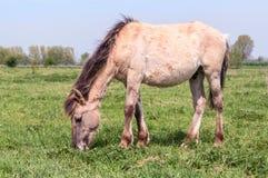 Pascolo del cavallo di Konik Fotografie Stock Libere da Diritti