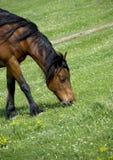 Pascolo del cavallo marrone Immagine Stock