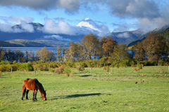 Pascolo del cavallo nella sosta nazionale di Lanin Immagine Stock