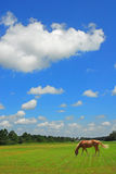 Pascolo del cavallo in pascolo Fotografia Stock