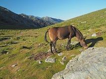 Pascolo del cavallo su un prato della montagna, su una roccia e su un fondo del cielo blu immagine stock libera da diritti