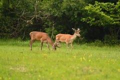 Pascolo del cervo maschio del maschio dei cervi sul prato fotografia stock libera da diritti