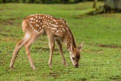 Pascolo del fawn dei cervi Sika Fotografie Stock Libere da Diritti