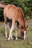 Pascolo del Foal Immagine Stock Libera da Diritti