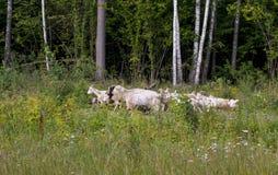 Pascolo del gregge delle capre in una radura della foresta immagini stock