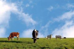 Pascolo del gregge delle mucche Fotografia Stock Libera da Diritti
