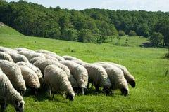 Pascolo del gregge delle pecore Immagini Stock Libere da Diritti