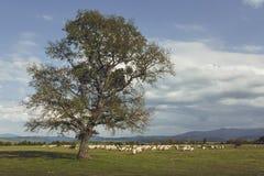 Pascolo del gregge delle pecore Fotografia Stock Libera da Diritti