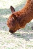 Pascolo del lama di Brown su un'azienda agricola che mangia erba Fotografia Stock Libera da Diritti