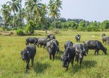 Pascolo dell'animale dei tori Immagine Stock Libera da Diritti