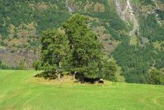 Pascolo dell'erba sul paesaggio della montagna in Flam, Norvegia Mucche sotto l'albero verde sul prato erboso il giorno soleggiat Fotografia Stock