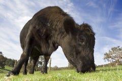 Pascolo della bestia bovina scura Fotografia Stock