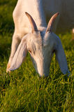 Pascolo della capra di Nubian Fotografie Stock