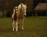 pascolo della cavalla del foal fotografia stock