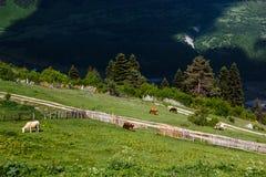 Pascolo della montagna Fotografia Stock