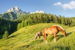 Pascolo della montagna con i cavalli Fotografia Stock