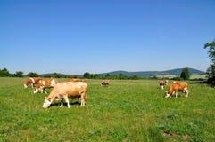 Pascolo della mucca. Fotografia Stock Libera da Diritti
