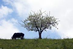 Pascolo della mucca Fotografia Stock Libera da Diritti