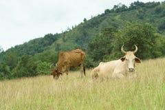 Pascolo della mucca Immagini Stock Libere da Diritti