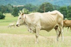 Pascolo della mucca Fotografia Stock