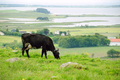 Pascolo della mucca nel prato Fotografia Stock Libera da Diritti
