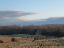 Pascolo della mucca nell'inverno Fotografie Stock