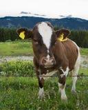 Pascolo della mucca nelle montagne Fotografie Stock
