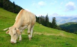 Pascolo della mucca nelle montagne di Pirenei fotografia stock