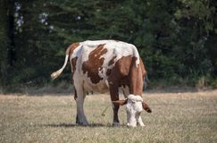 Pascolo della mucca rossa e bianca, Montbeliard, molte mosche, stanti in mezzo ad un prato asciutto immagini stock