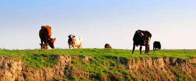 Pascolo della mucca sulla scogliera Immagini Stock Libere da Diritti