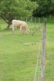Pascolo della mucca in un campo Immagini Stock Libere da Diritti