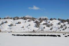 Pascolo della neve del bestiame Fotografie Stock Libere da Diritti