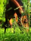 Pascolo della priorità bassa del cavallo Fotografia Stock