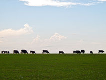 Pascolo della siluetta del bestiame fotografia stock libera da diritti